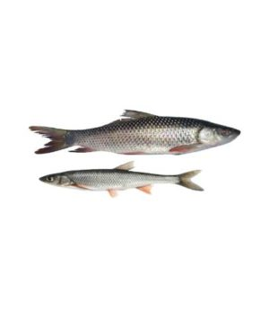 rohu fish martizo